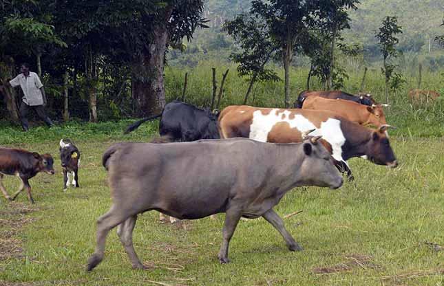 Élevage bovin, race Lagune de la ferme de Voka
