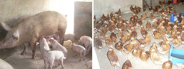 Filière avicole et porcherie de la ferme de Voka au Congo